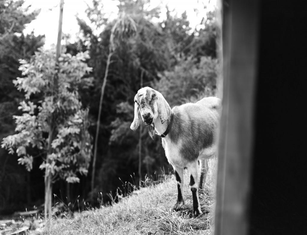 Goat-Saddle Hill-Sarah Galvan Photographe-2