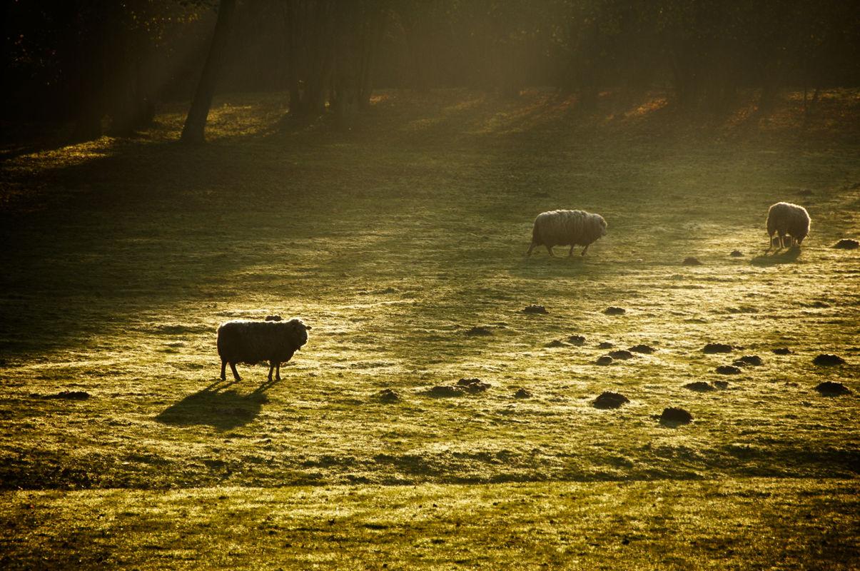 Moutons-Sarah Galvan photographe